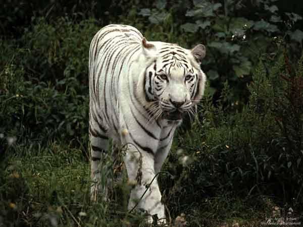 White-Tigers1